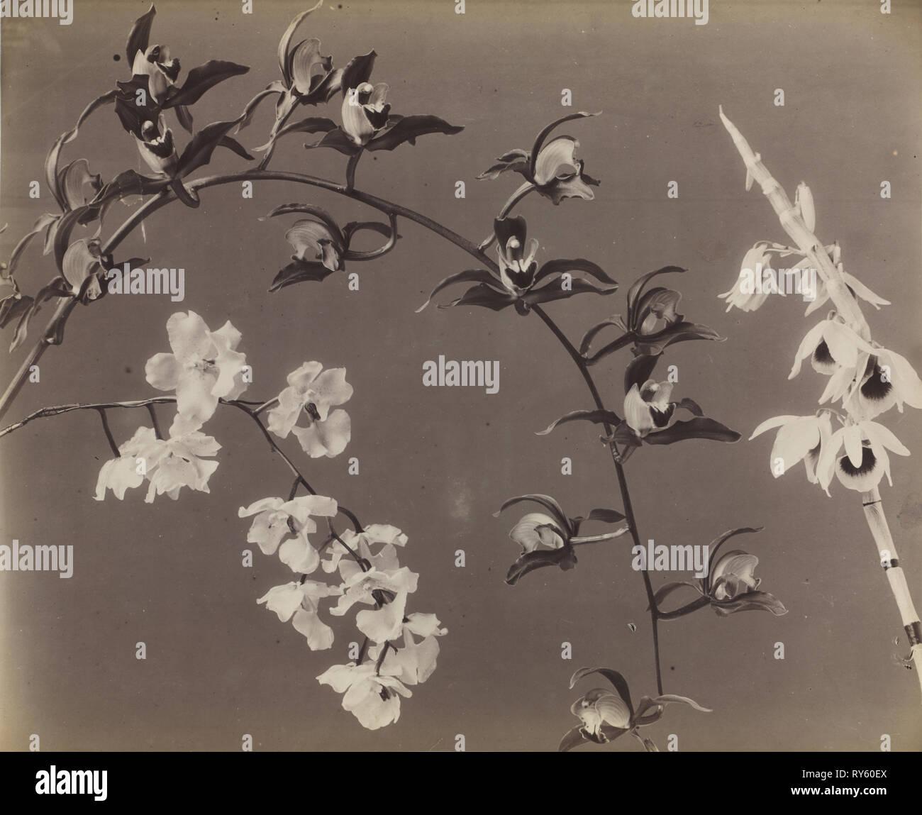 Étude des orchidées, c. Années 1870. Photographe non identifié. L'albumine à partir de négatifs au collodion humide; Image: 38 x 46,4 cm (14 15/16 x 18 1/4 in.); Papier: 48 x 63,2 cm (18 7/8 x 24 7/8 in.); enchevêtrées: 61 x 71,1 cm (24 x 28 dans Banque D'Images