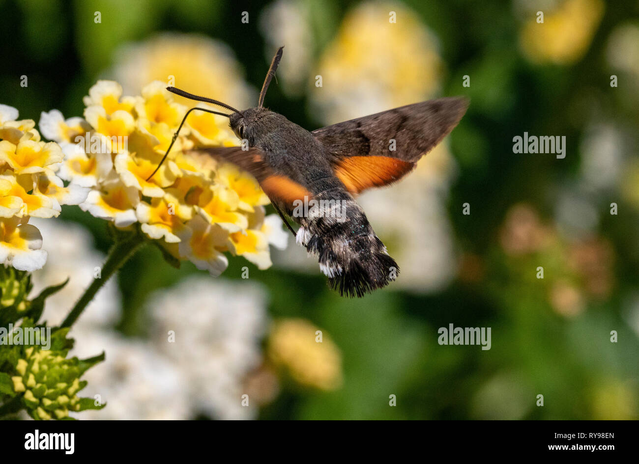 Humming-Bird colorés Hawk Moth (Macroglossum stellatarum) se nourrissant dans un jardin en Sardaigne, Italie, (portrait) Photo Stock