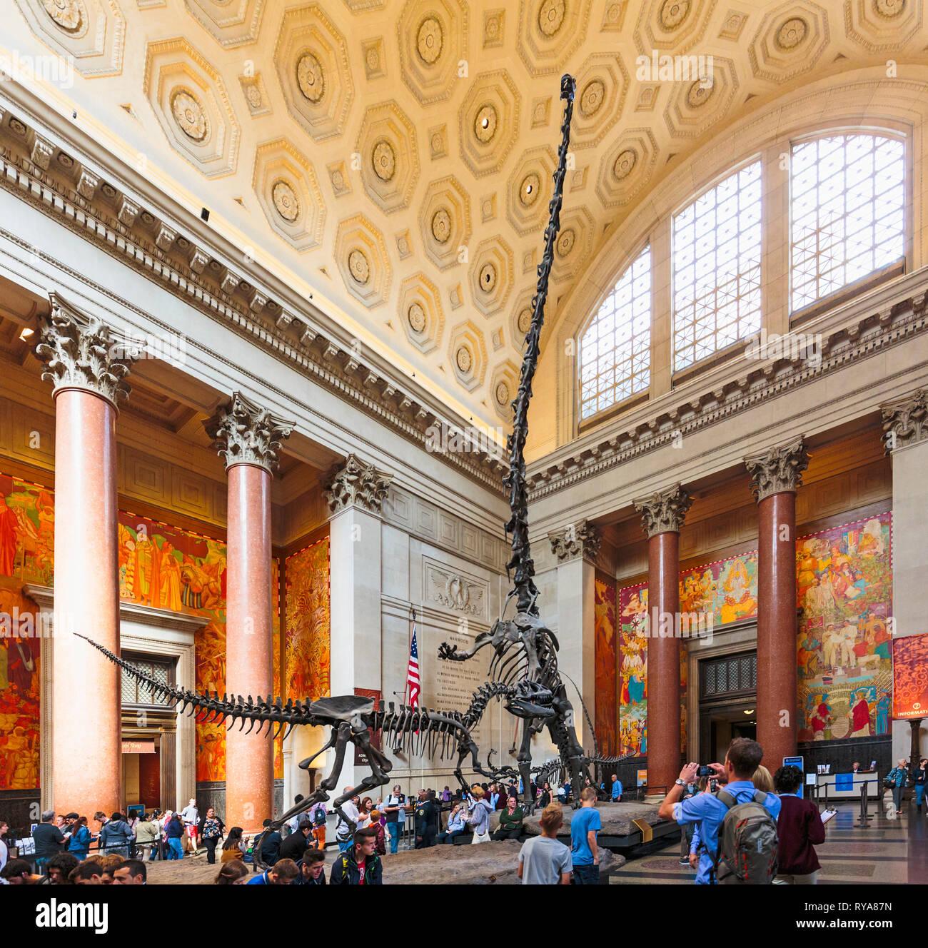 Theodore Roosevelt Rotunda, Musée Américain d'Histoire Naturelle. Deux dinosaures lutte. Un Barosaurus se dresse pour protéger ses jeunes à partir d'une attaque Photo Stock
