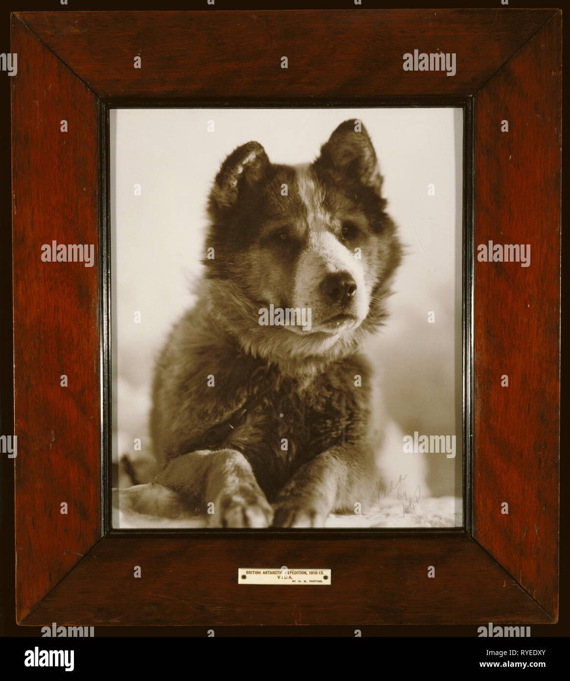 """""""Vida"""", l'un des meilleurs des chiens utilisés par le Capitaine Smith sur son expédition Pôle Sud (1910 - 1913).; Herbert G. Ponting (britannique, 1870 - 1935); vers 1912, Tirage argentique, 35,9 x 30 cm (14 1/8 x 11 13/16 in.); 84.XF.455 Banque D'Images"""