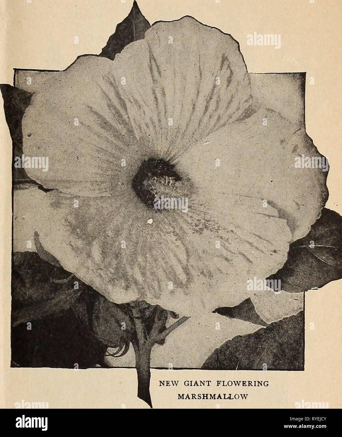 Hibiscus Moscheutos HARDY mélange de 10 variétés 15 graines seeds ...