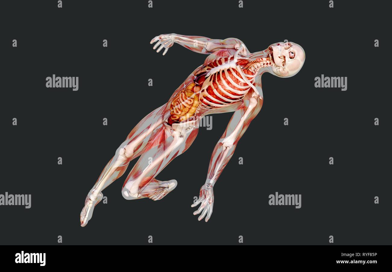3d illustration d'un squelette humain système musculaire, les os et le système digestif avec Clipping Path Photo Stock