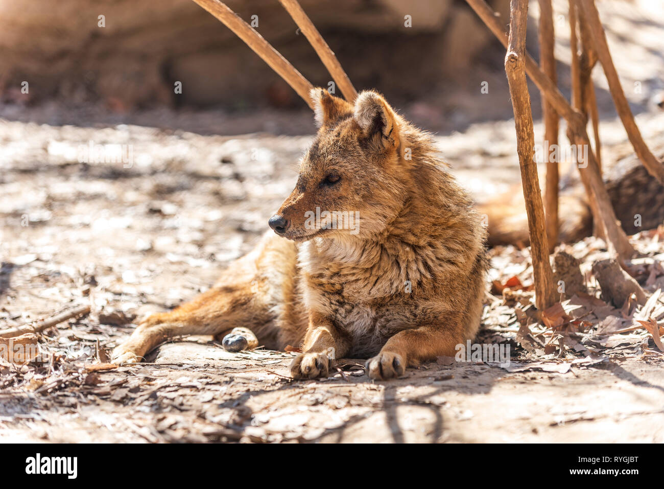Le Chacal Canis aureus Banque D'Images
