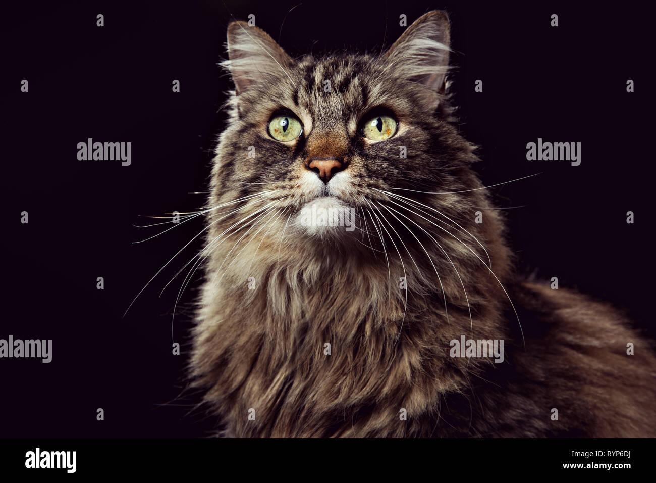 Close-up portrait of a brown tabby cat à la haut sur un fond noir. Banque D'Images