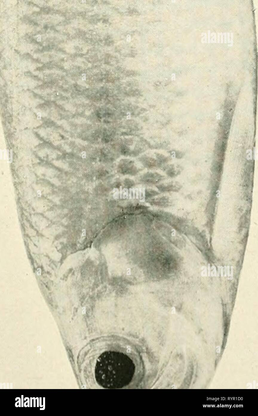 Les poissons comestibles de nouveau les poissons comestibles de Nouvelles Galles du Sud; leur importance et leurs potentialités . ediblefishesofne newsuoft Année: 190800,f &Lt;^^ &Lt; P^^l'A., w &gt;^ w 6 w o o Photo Stock