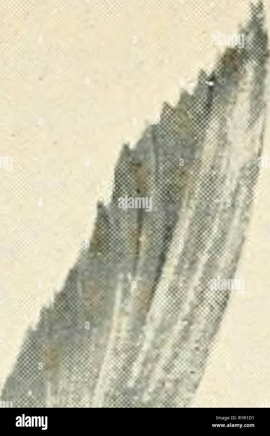 Les poissons comestibles de nouveau les poissons comestibles de Nouvelles Galles du Sud; leur importance et leurs potentialités . ediblefishesofne newsuoft Année: 190800,f &Lt;^^ &Lt; P^^l'A., Photo Stock