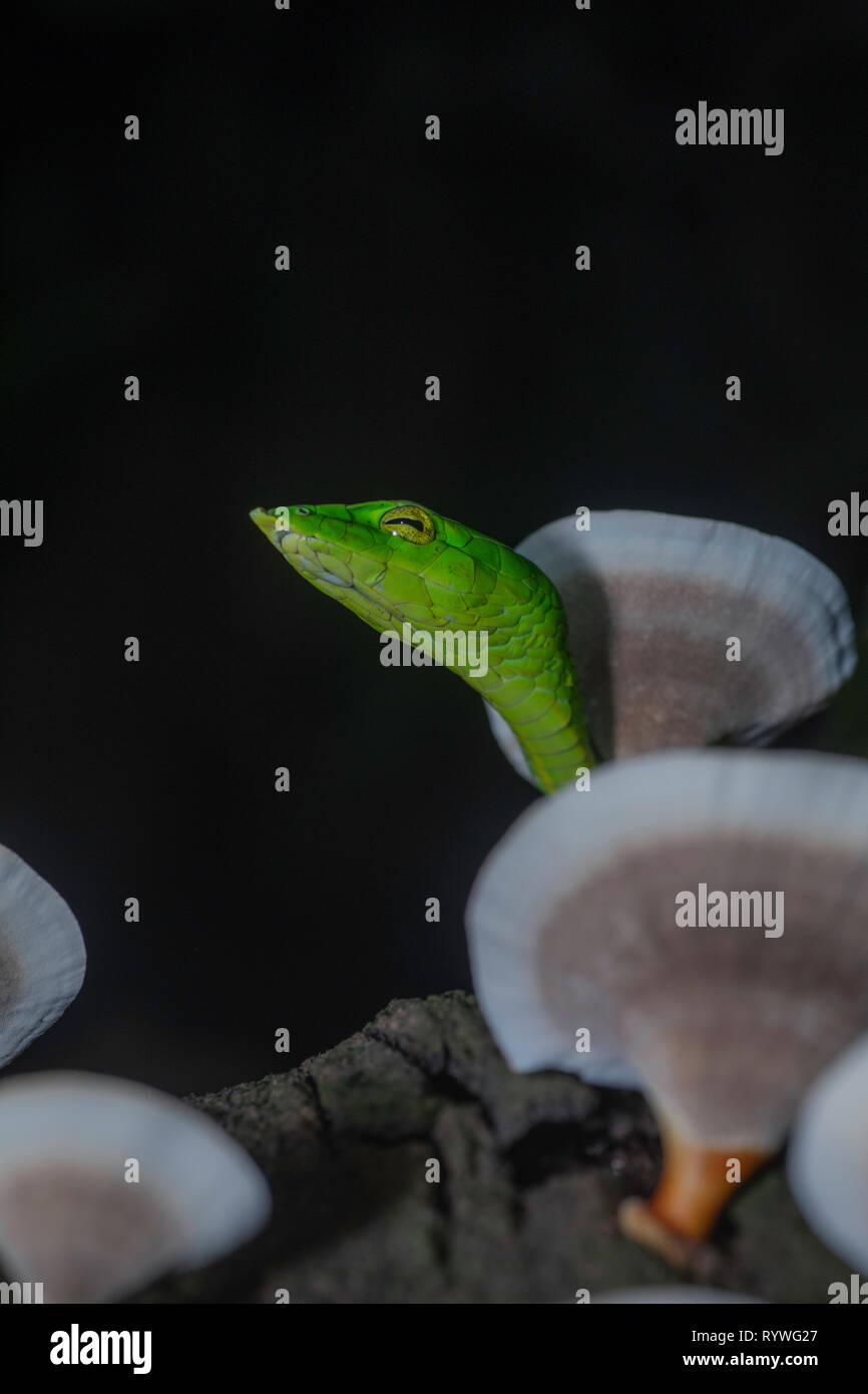 Serpent de vigne verte- Ahaetulla nasuta avec des champignons, Satara sur arbre, Maharashtra, Inde Banque D'Images