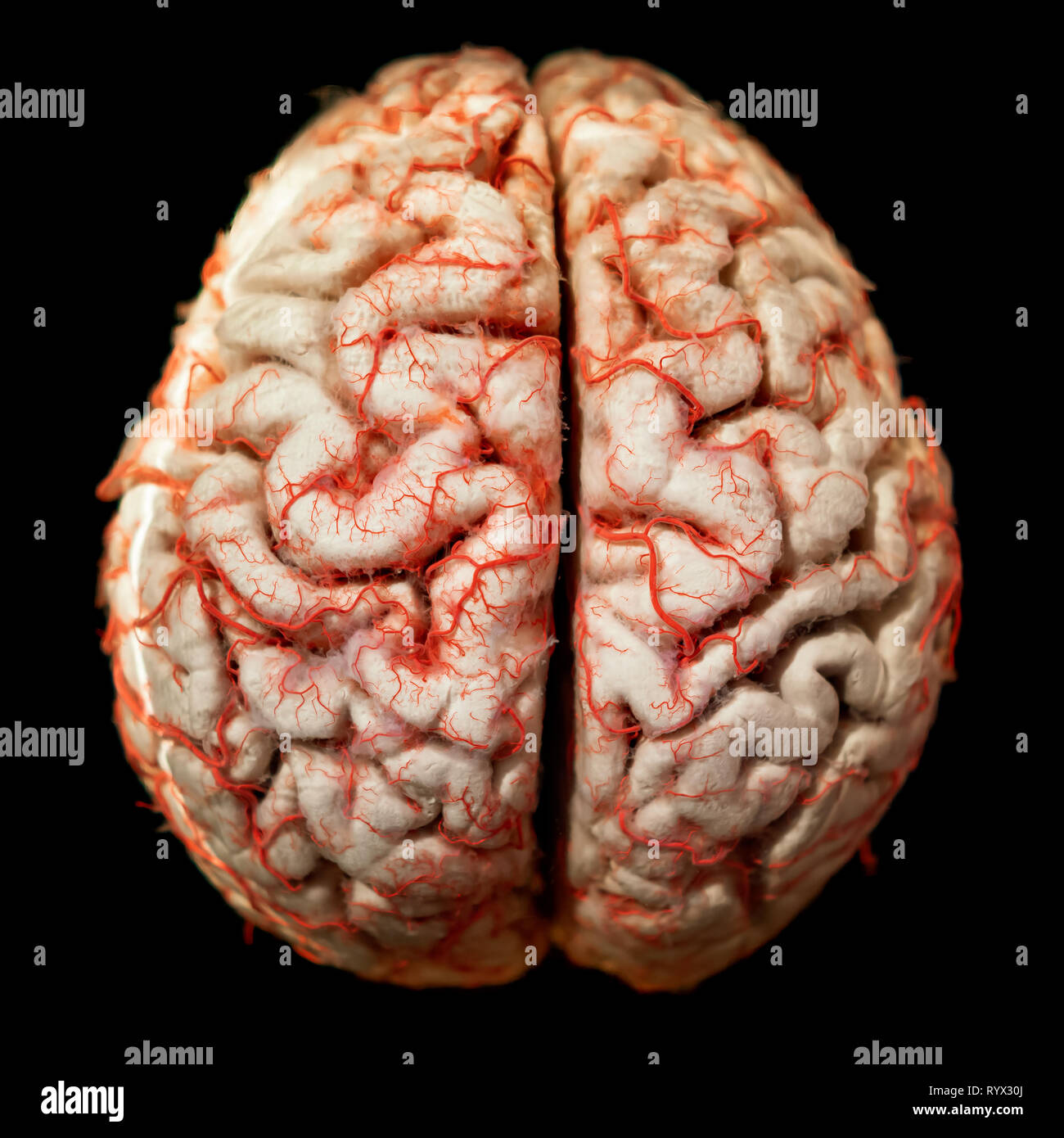 Gros plan du cerveau humain Photo Stock