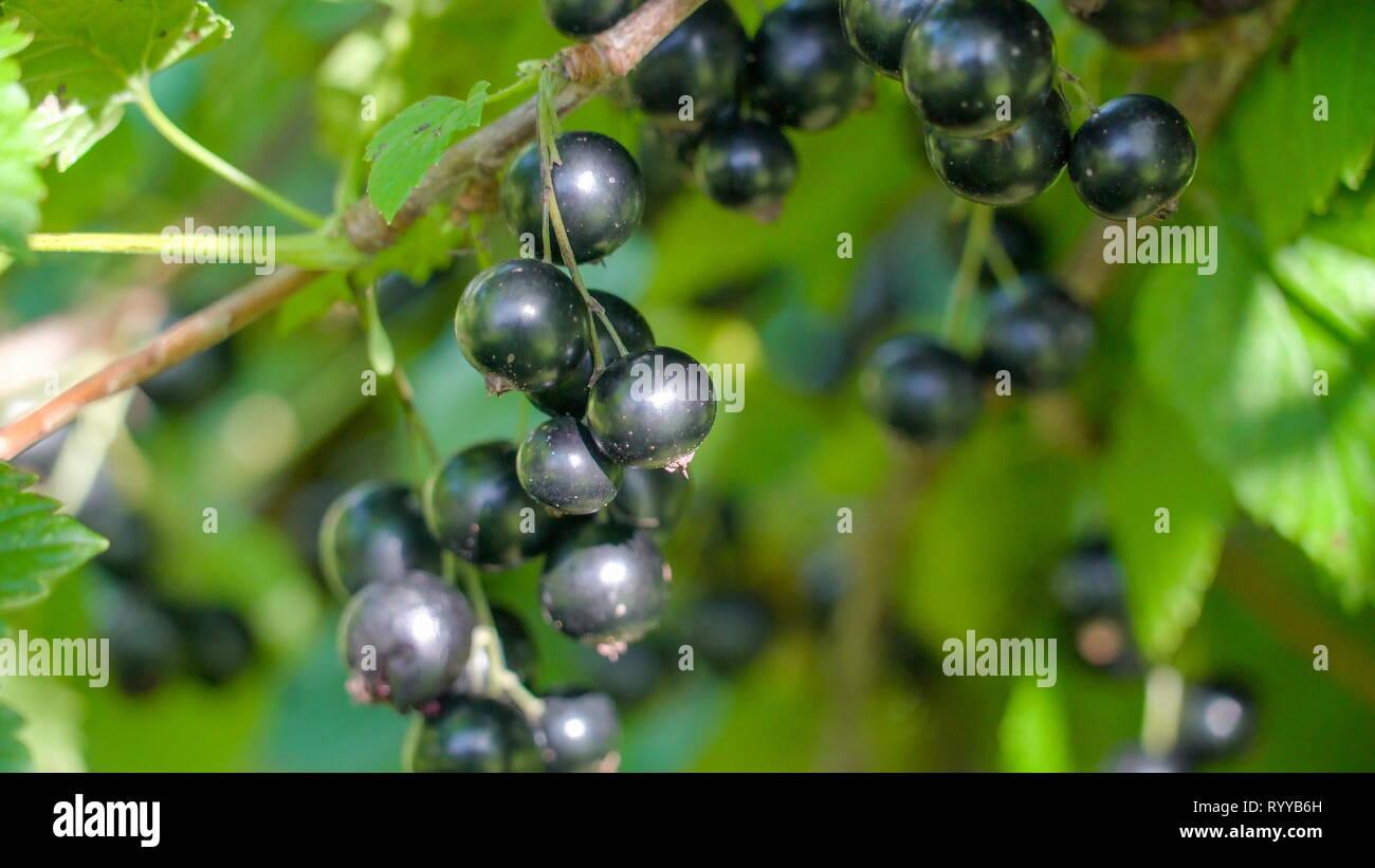 Un Arbre Avec Une Baie De Cassis Fruit Violet Le Cassis Est Un
