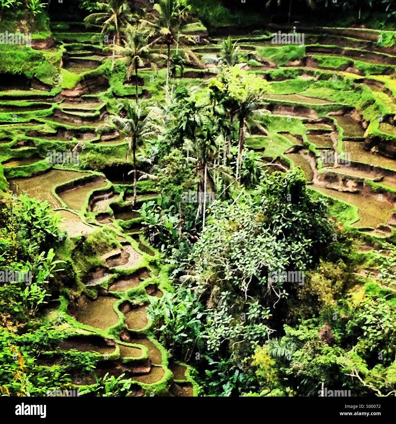 Terrasses de riz, de Tegalalang, Bali, Indonésie Photo Stock