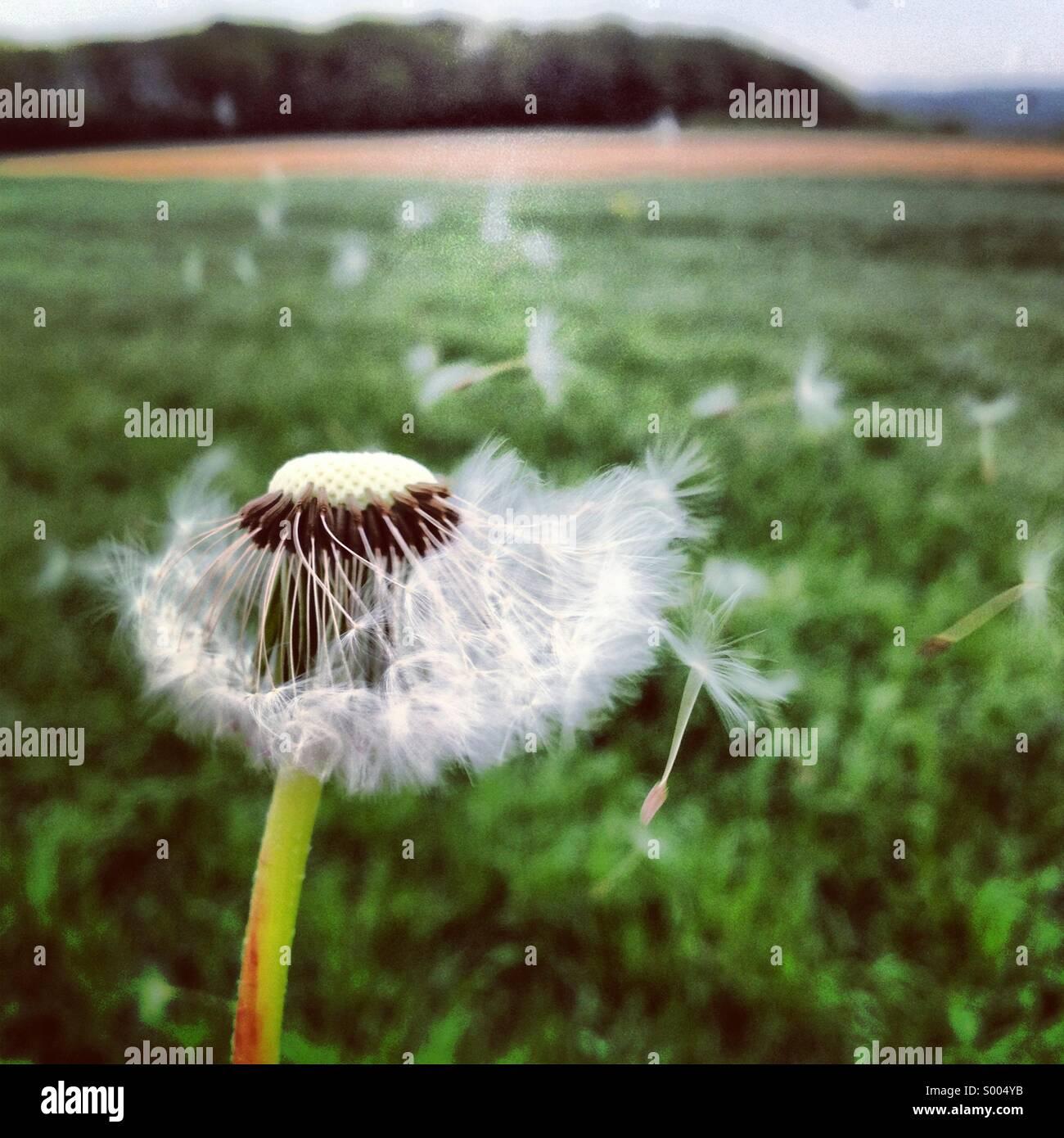Pissenlit dans le vent Photo Stock