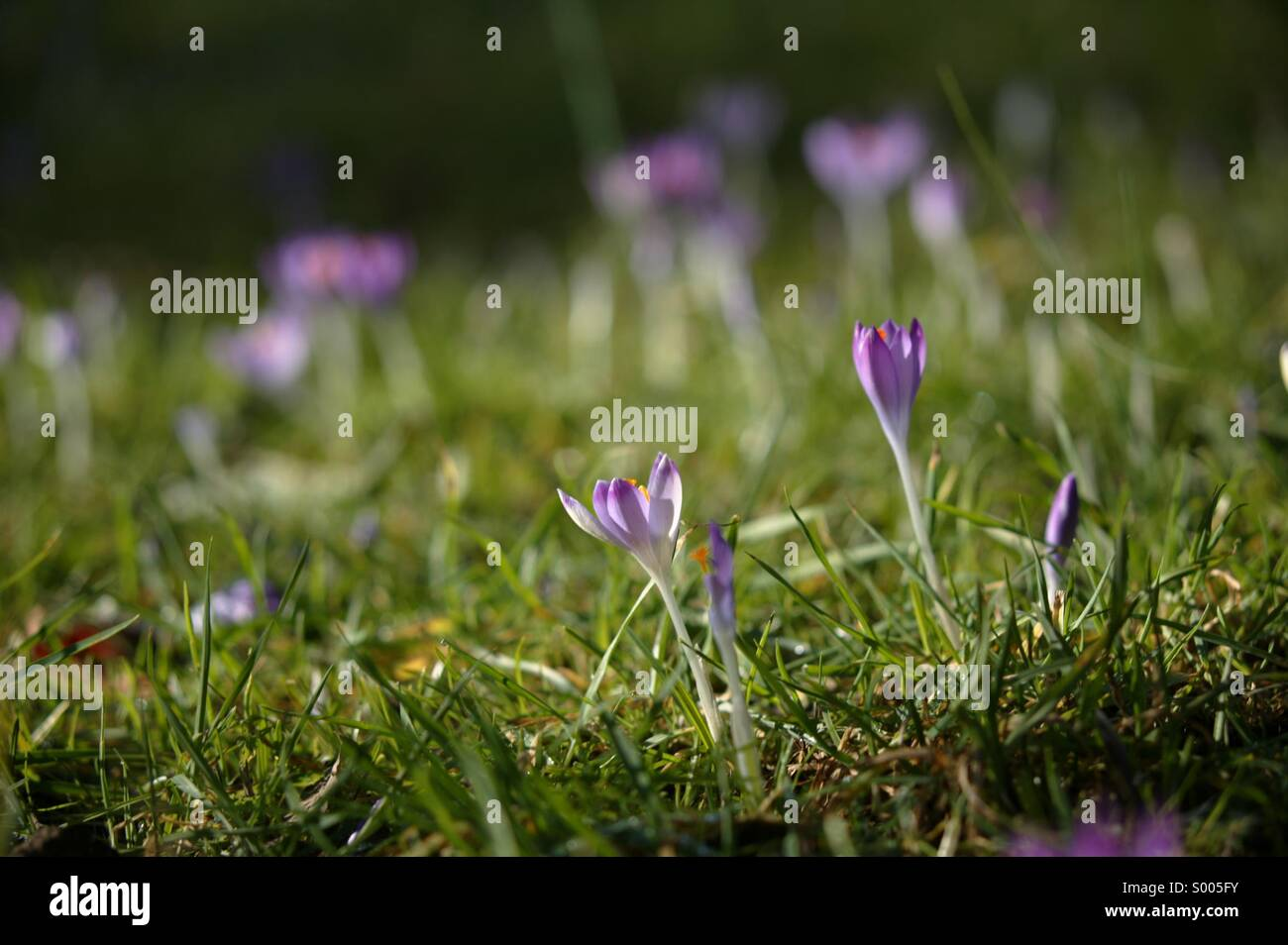Crocus Photo Stock