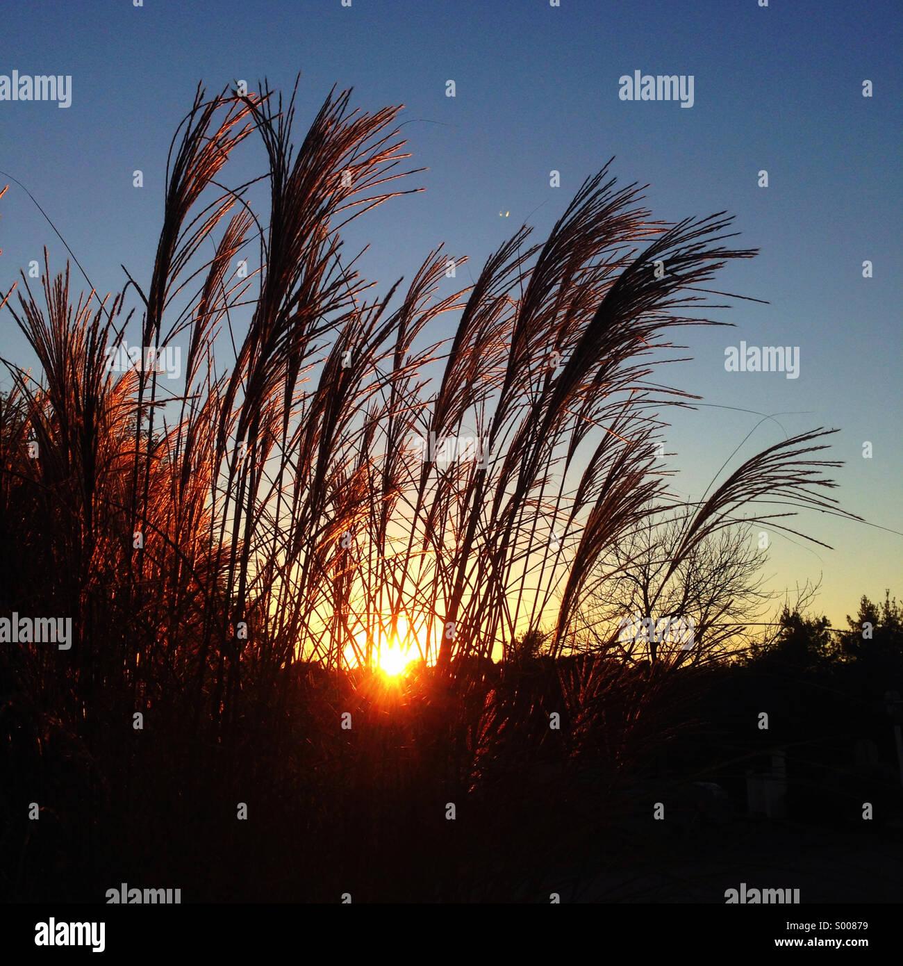 Graminées ornementales, coucher du soleil Photo Stock