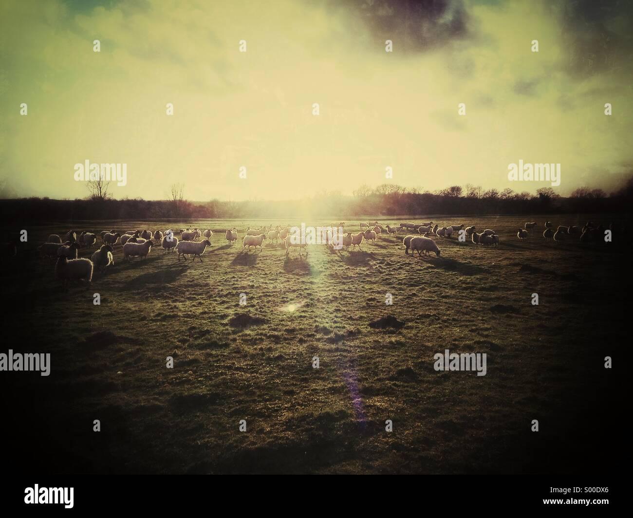 Moutons dans le champ, à la recherche dans des systèmes Sun Photo Stock