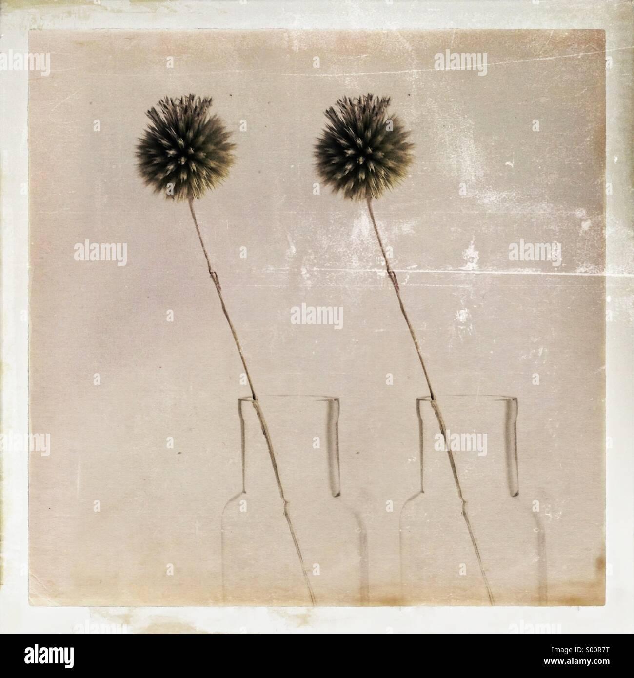 Globe clonés chardons chacune dans son propre vase traitées avec un background Photo Stock