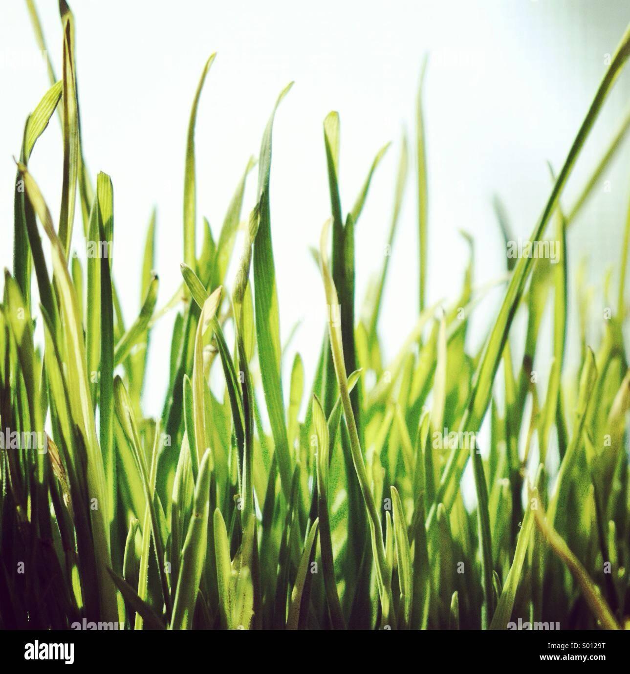Close up de brins d'herbe. Banque D'Images