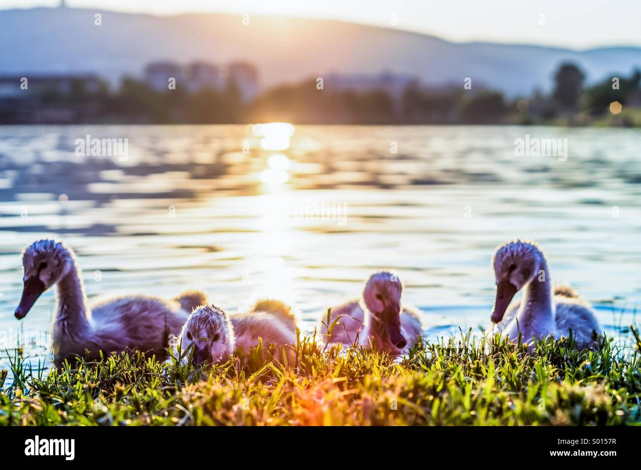 Petits cygnes Photo Stock