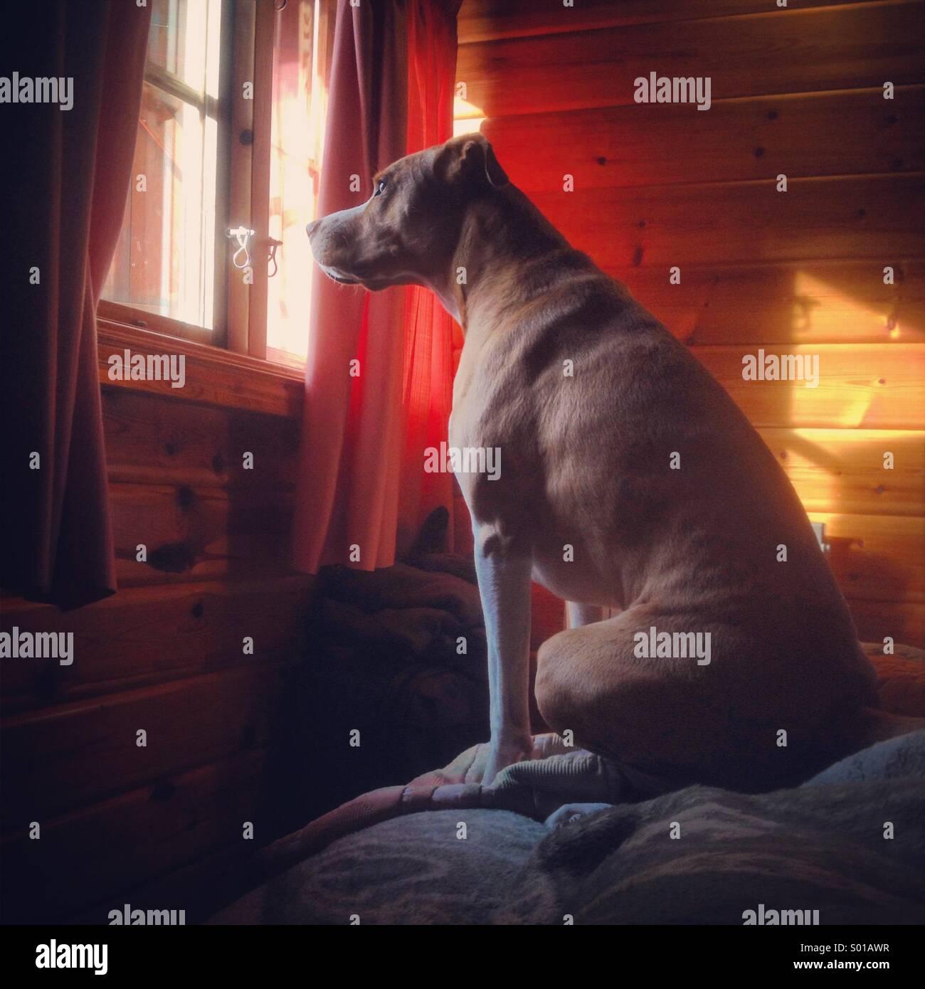 Big brown dog looking through window en chalets bois Photo Stock