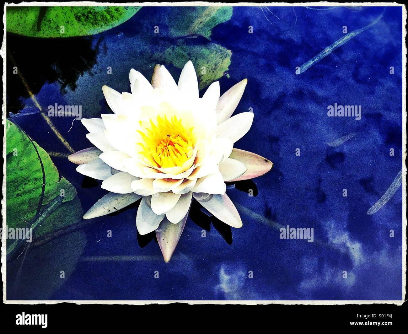 Nénuphar blanc flottant dans l'eau bleue Photo Stock