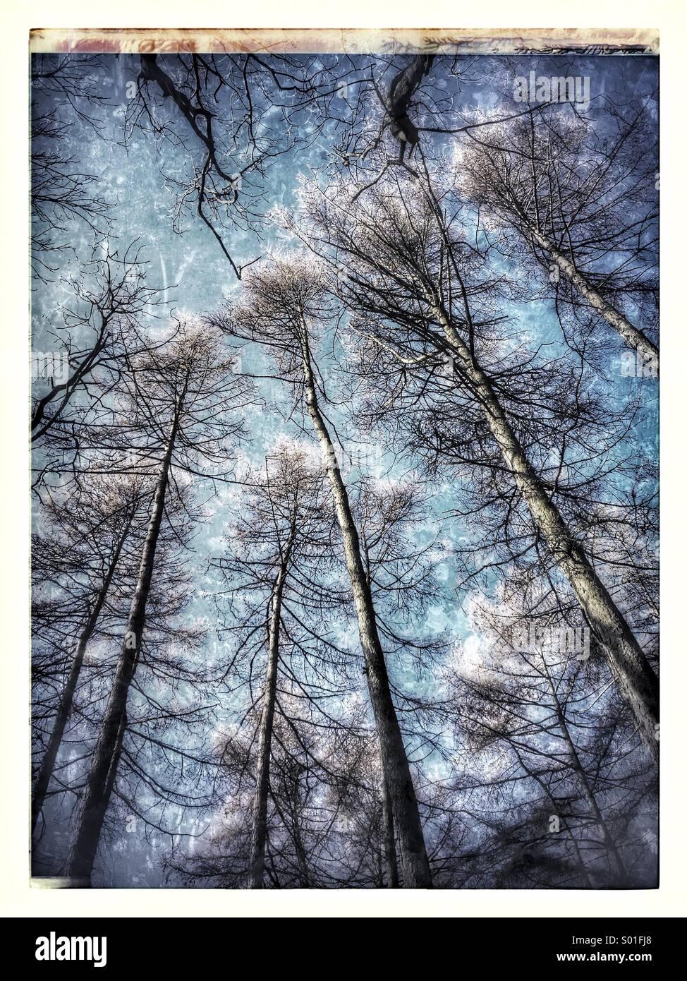 Les arbres dans une forêt ancienne against a blue sky Photo Stock