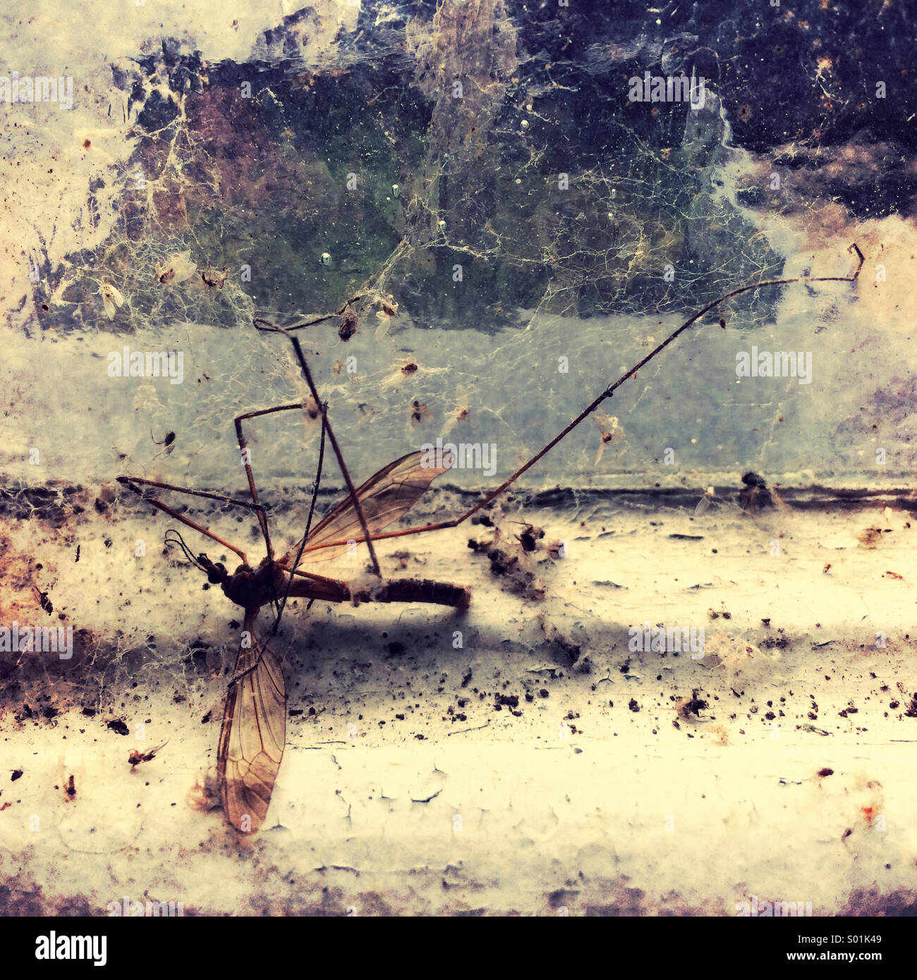 Daddy longlegs Photo Stock