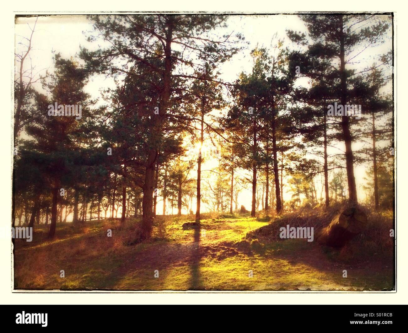 Une forêt avec le soleil qui brille à travers les arbres. Photo Stock