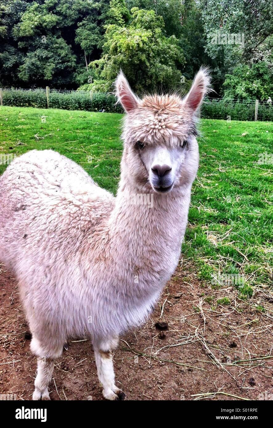 Llama dans champ vert , animal mignon Photo Stock