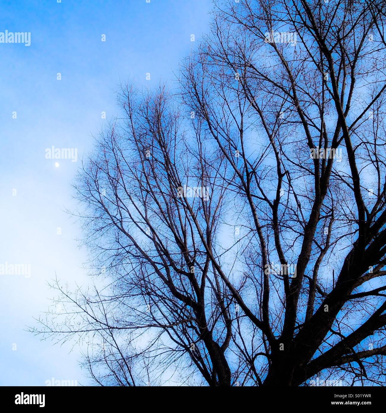 Arbre nu et la lune. Photo Stock