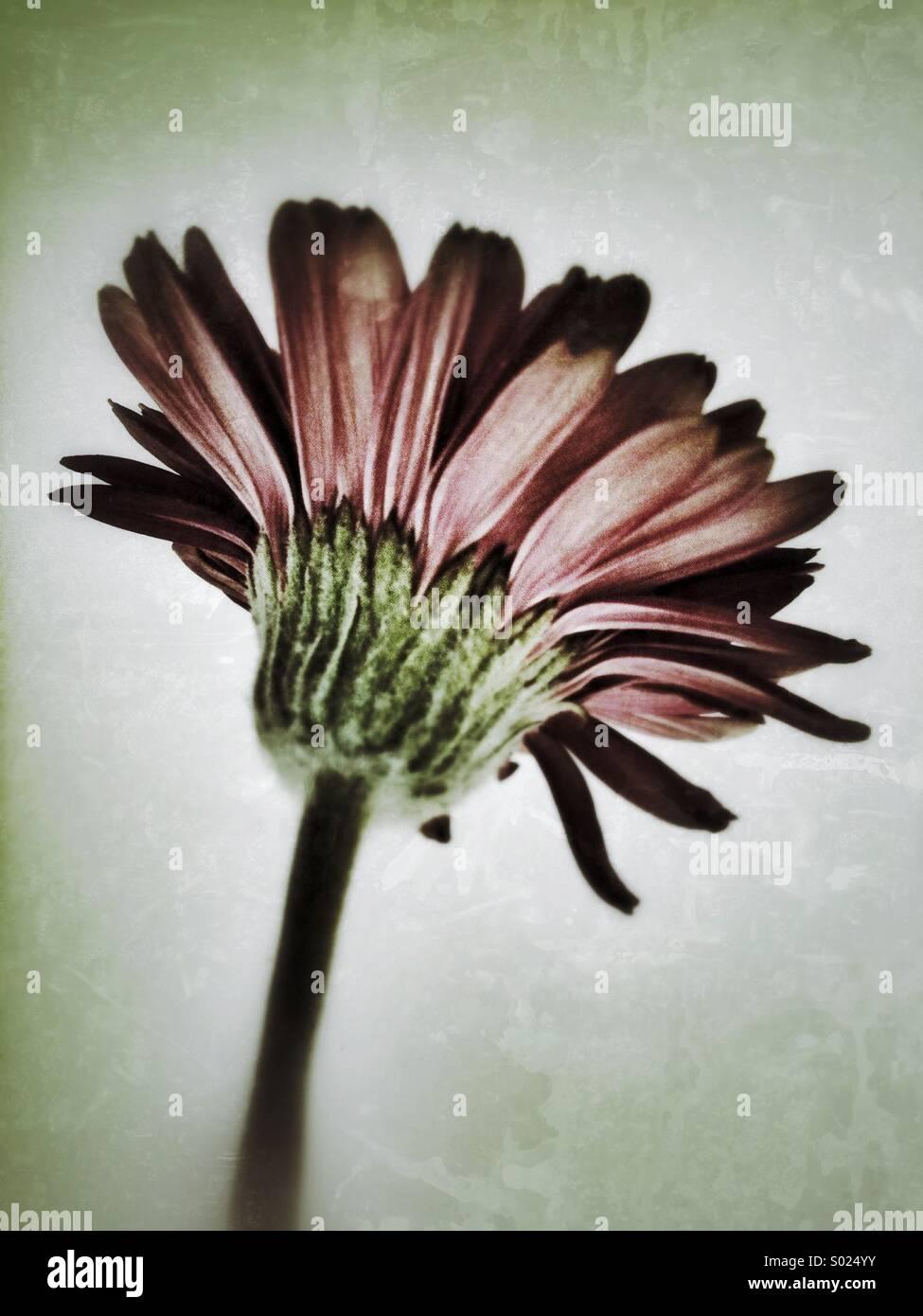Gerbera flower grunge avec effet appliqué. Photo Stock