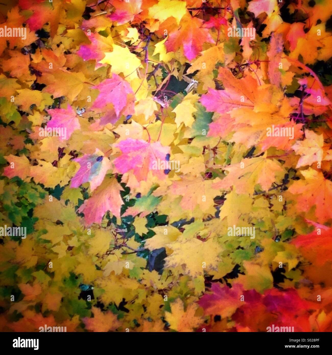 Couleurs d'automne émanent de la feuilles des arbres dans un champ au nord de la Pologne. Photo Stock