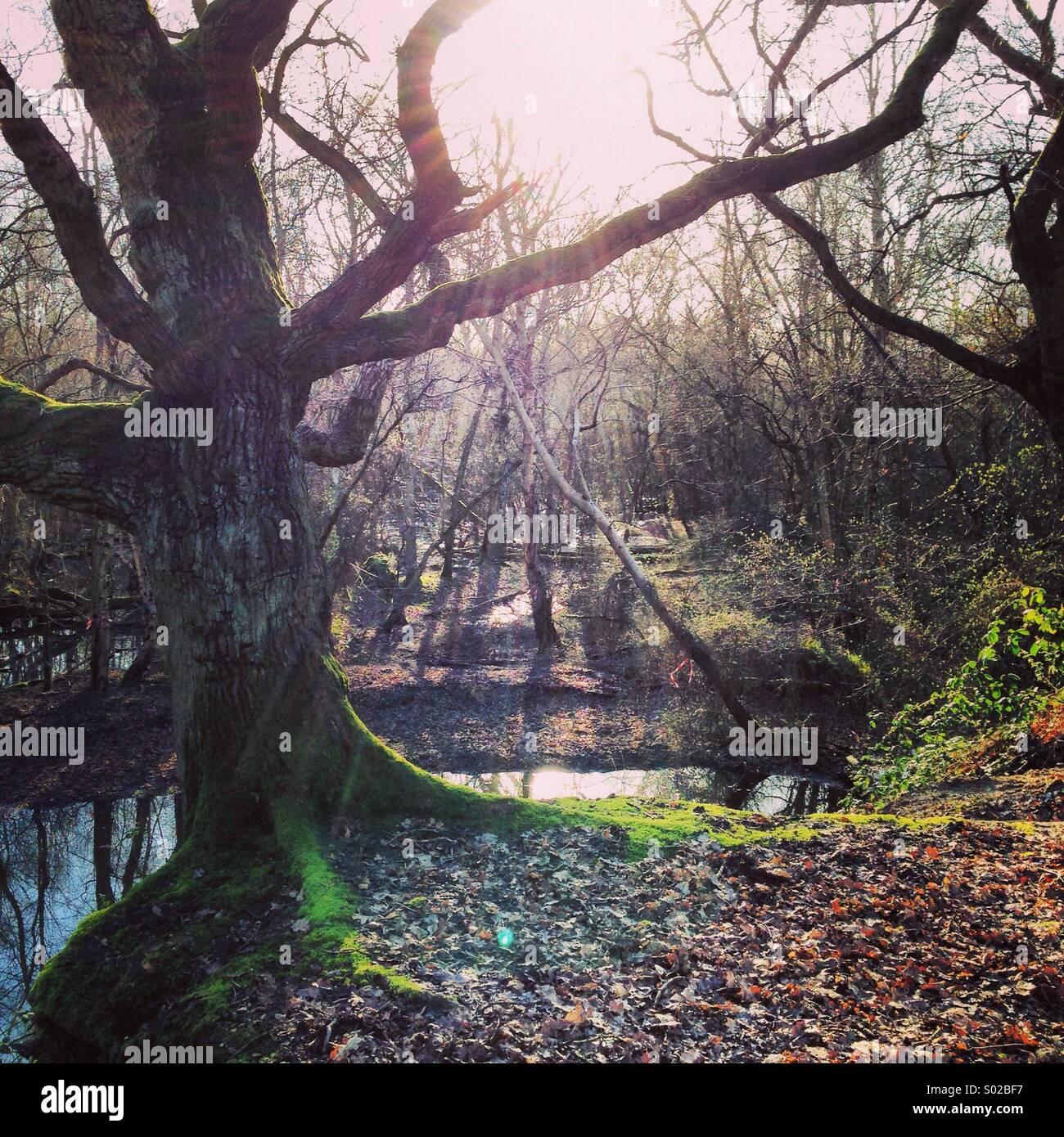 Les déversements de lumière à travers les arbres dans un bois Photo Stock