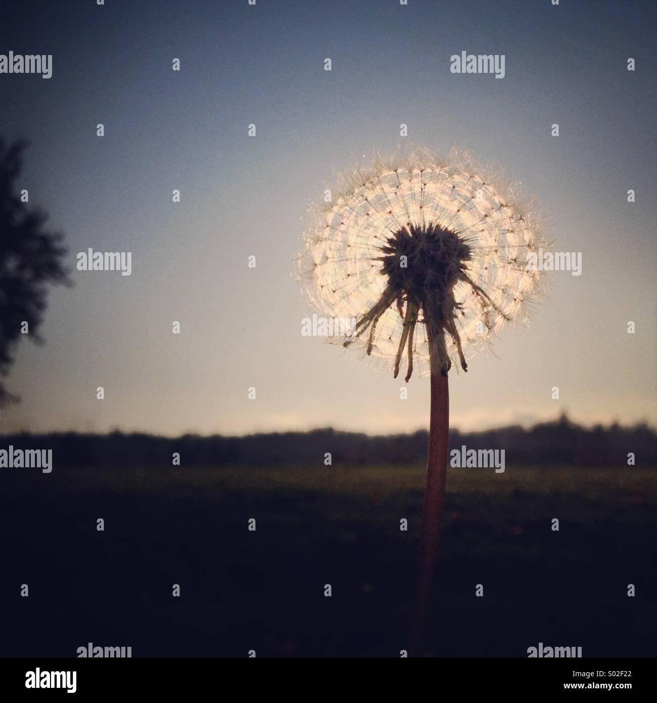 Le pissenlit le coucher du soleil Photo Stock