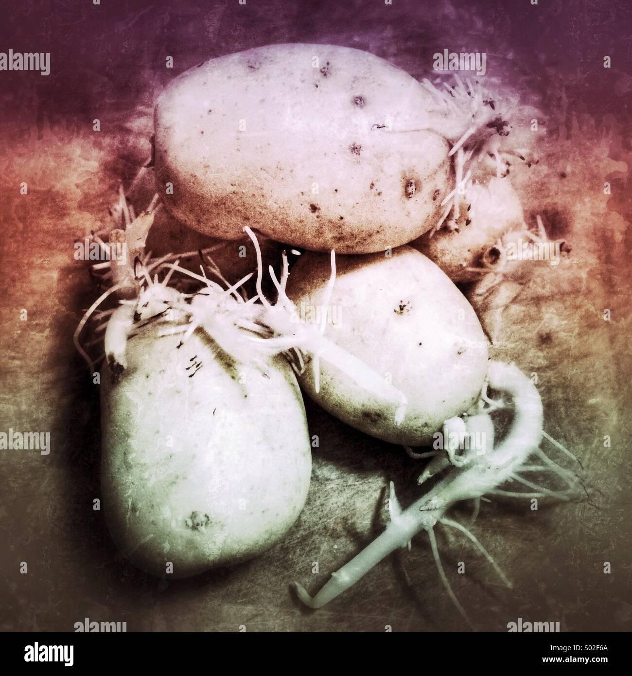 Les pommes de terre germées Photo Stock