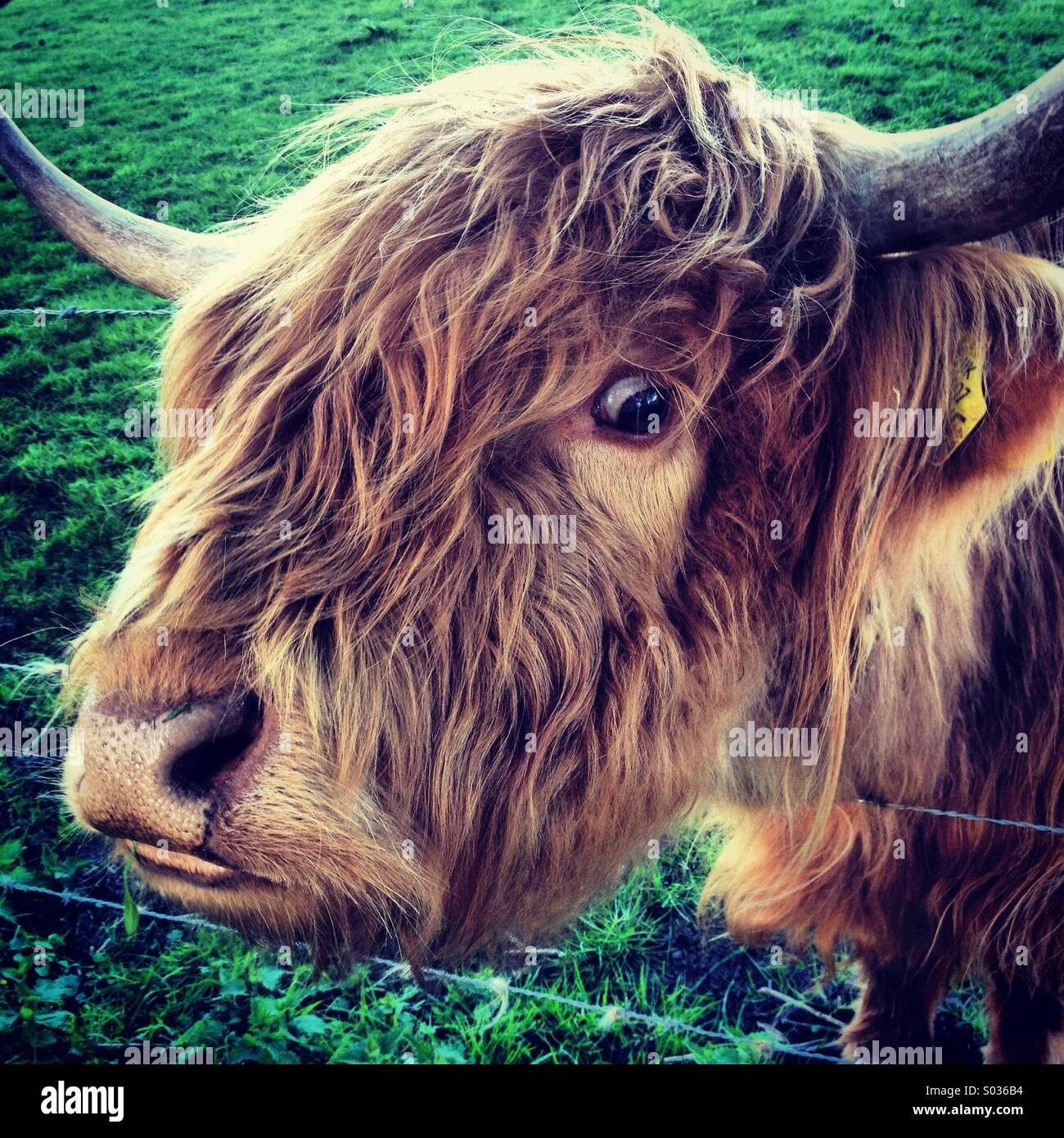 Vache Highland, Sutton-sous-Brailes, Oxfordshire. Banque D'Images