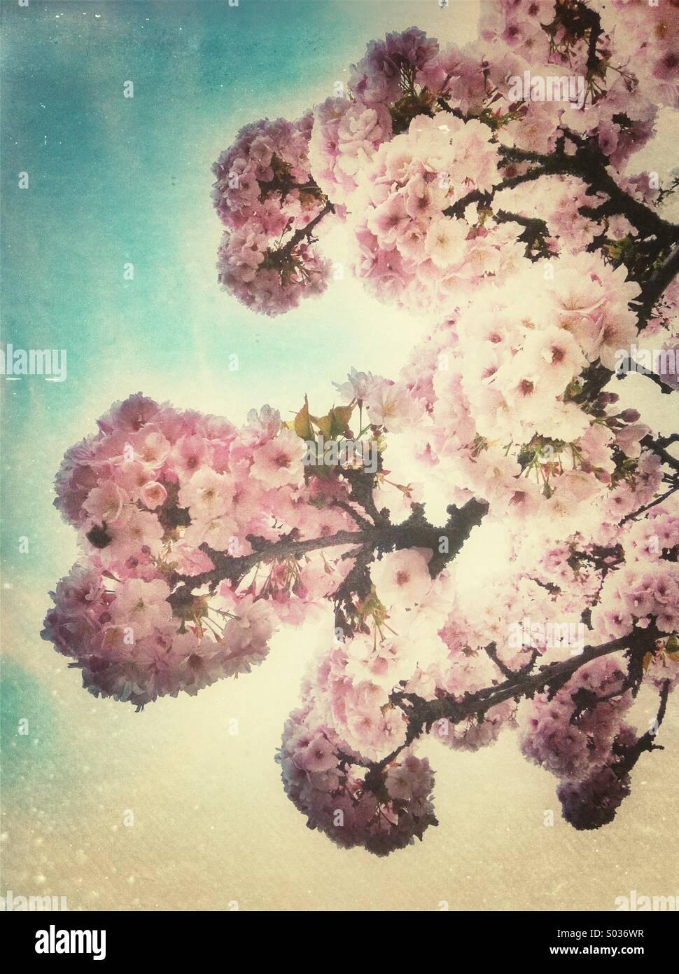 Fleur de cerisier rose fleurs dans la saison du printemps Photo Stock