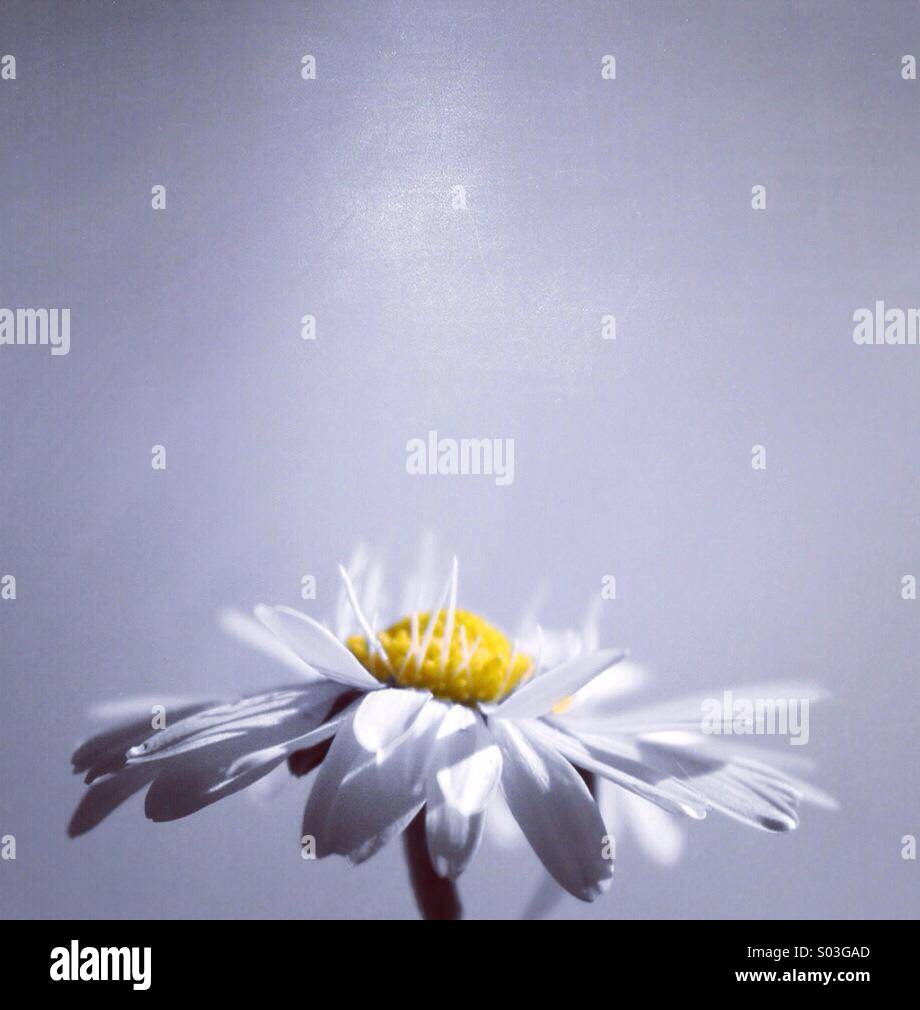Éclaboussure de Daisy Photo Stock