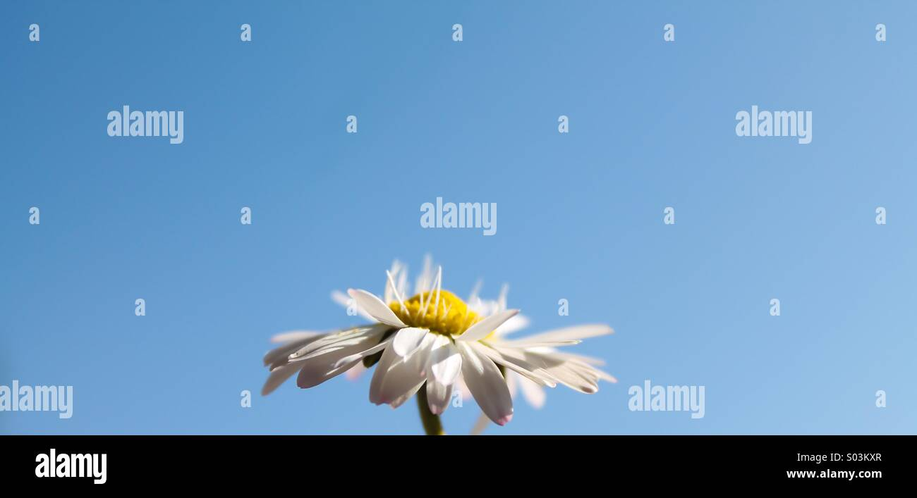 Daisy au printemps Photo Stock