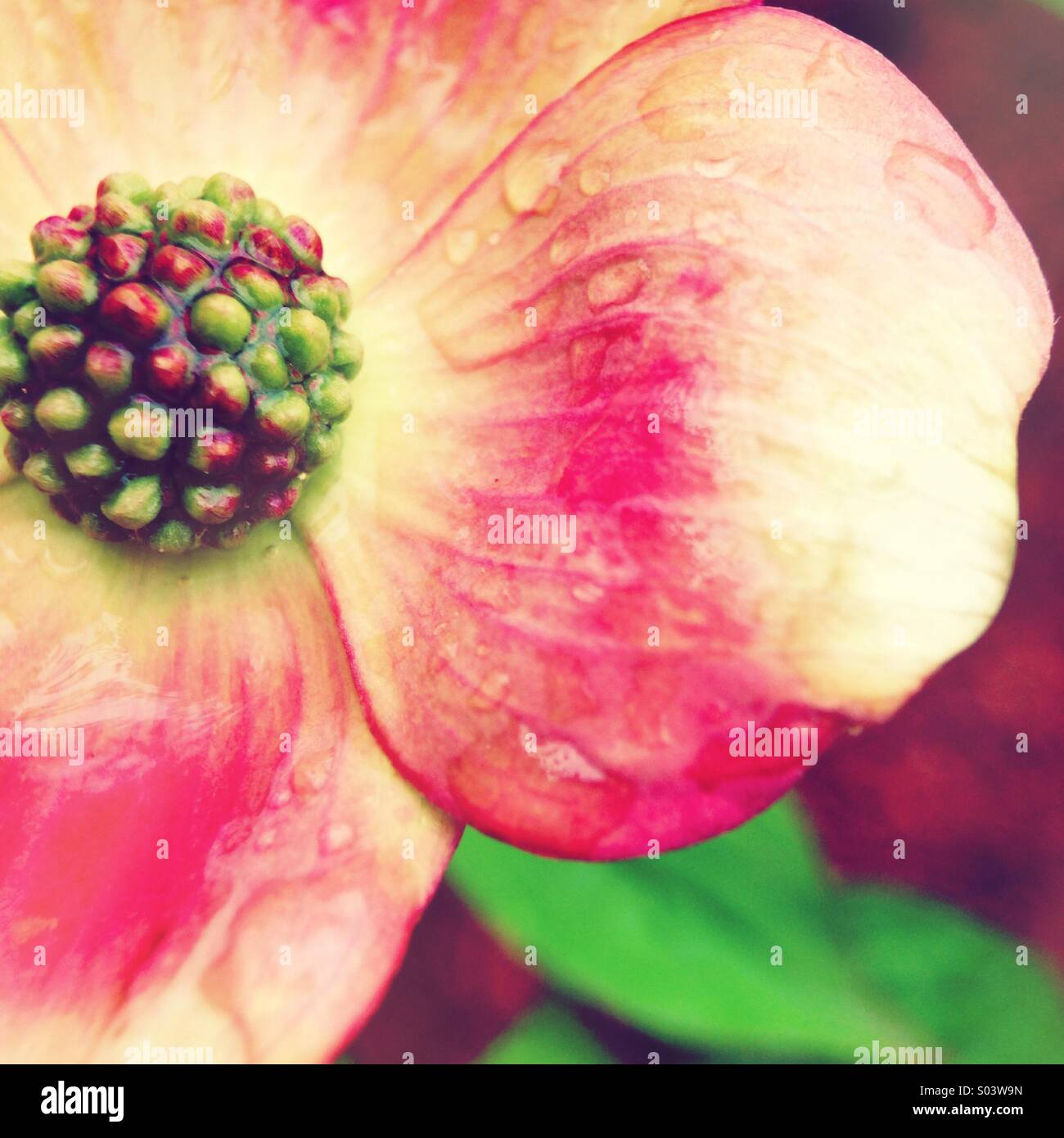Fleur de cornouiller Photo Stock