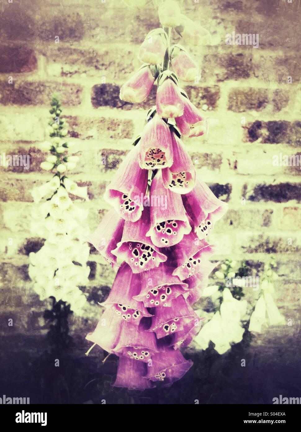La digitale rose fleurs avec effet grunge Photo Stock
