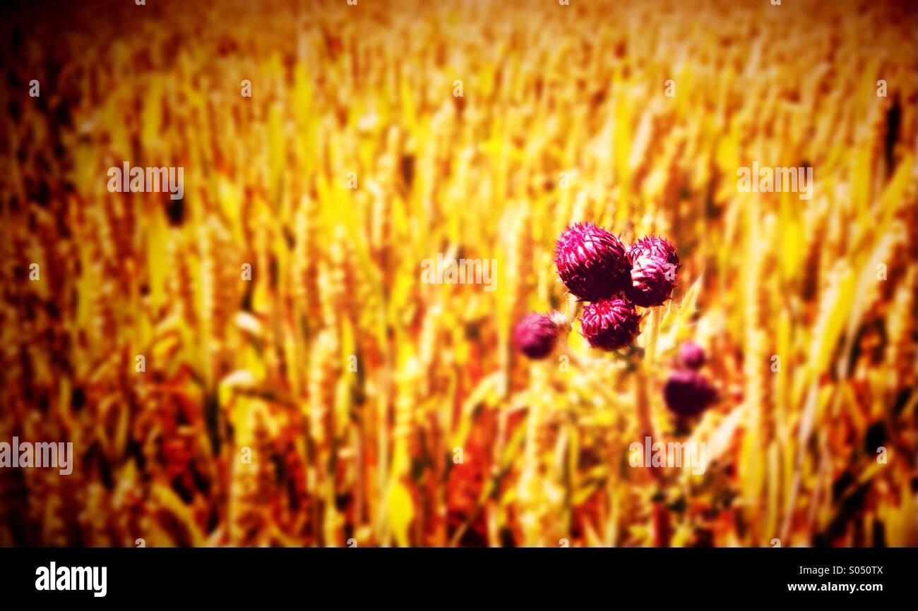 Chardon et champ de blé Photo Stock