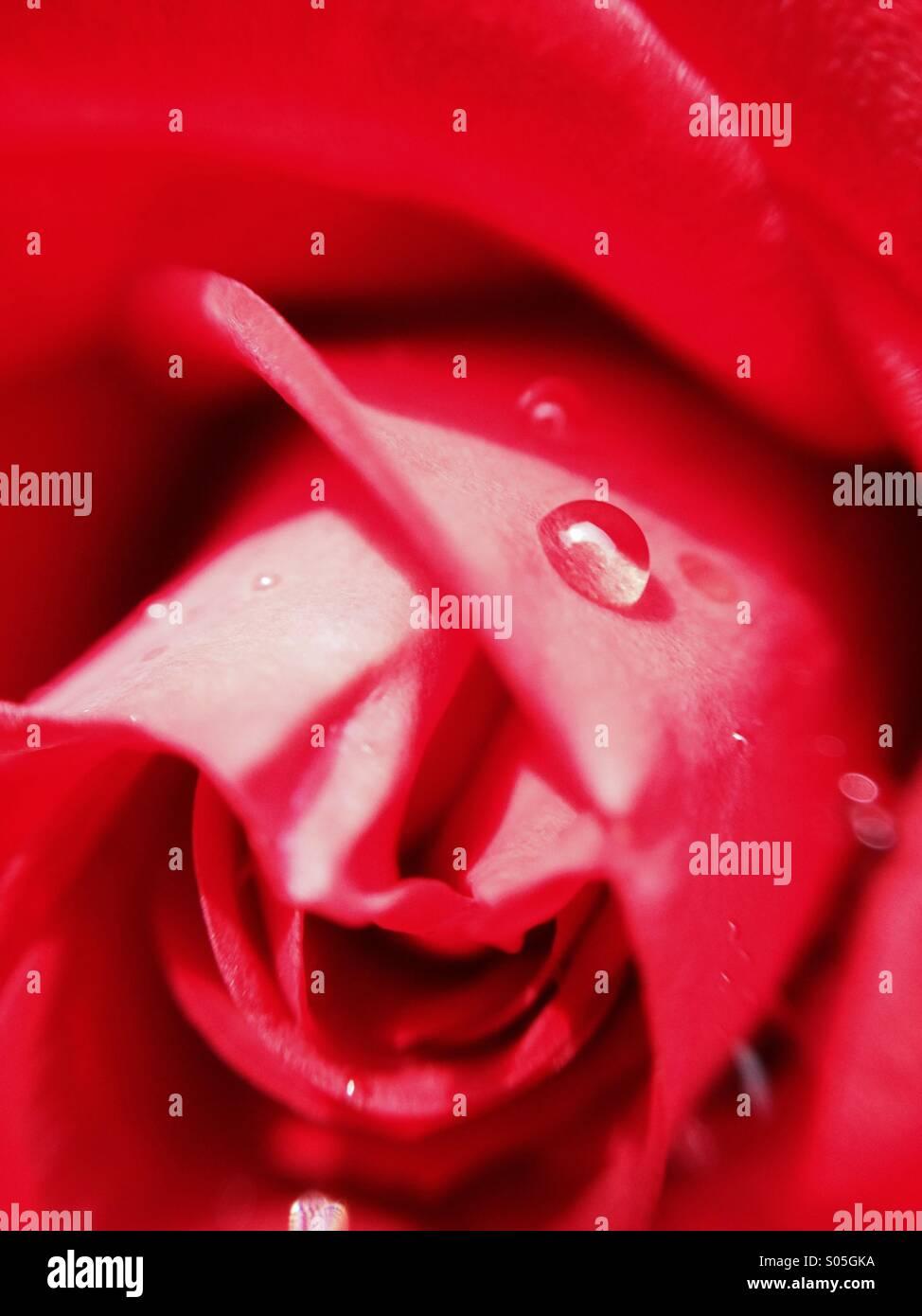 Close up de gouttelettes d'eau sur une rose Photo Stock