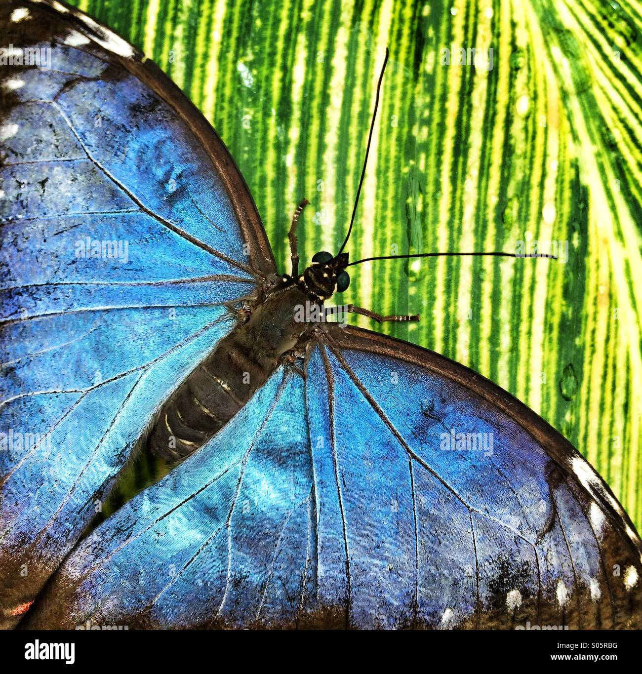 Close up of blue butterfly sur feuille verte Photo Stock