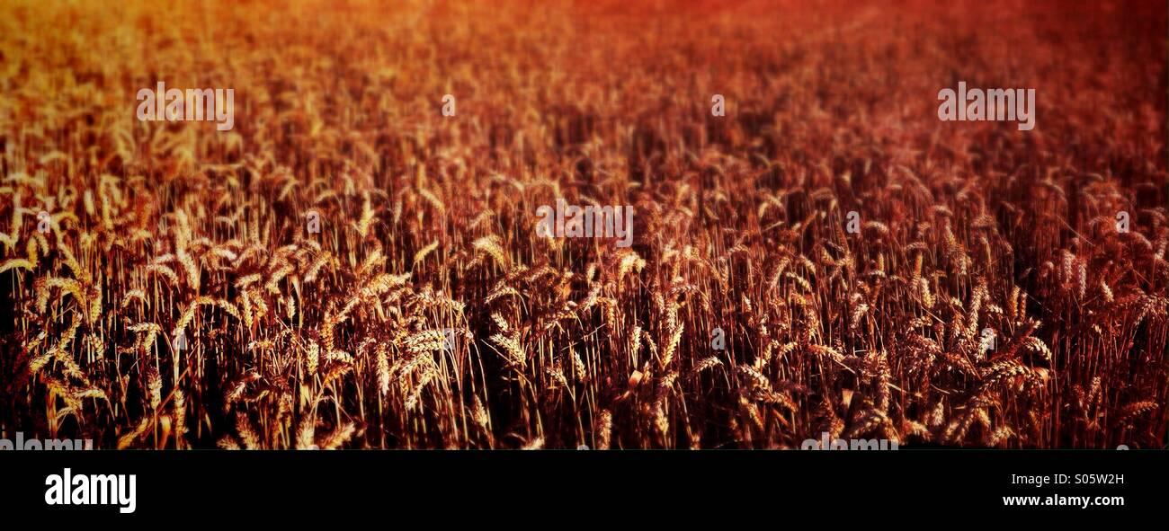 Panorama du champ de blé Photo Stock