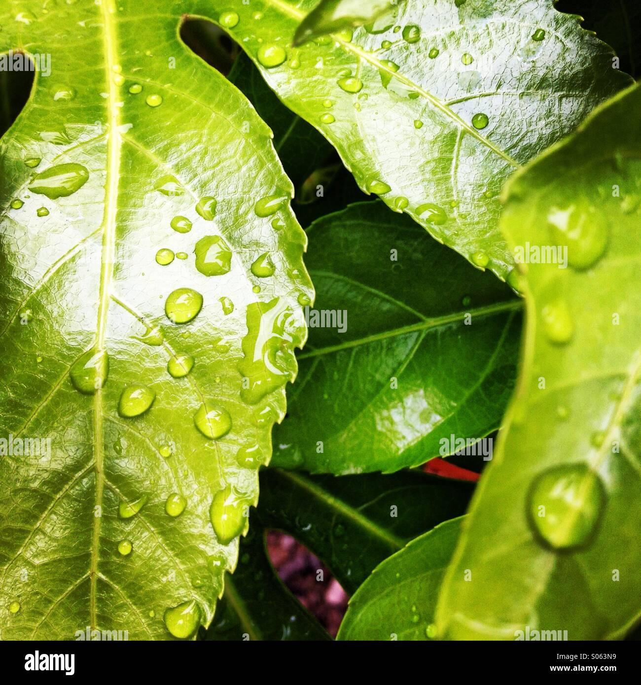 Gouttes de pluie sur feuille poli Photo Stock