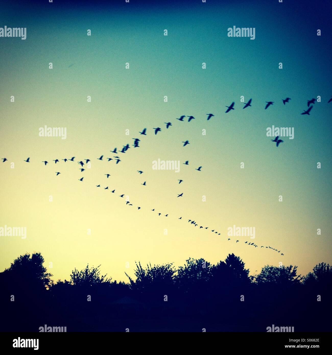 Des oies voler vers le nord pendant le lever du soleil Photo Stock