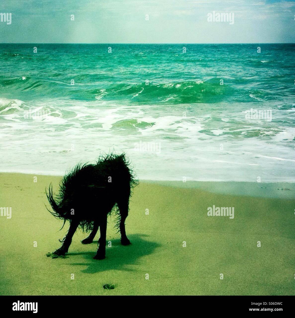 Un chien noir labradoodle shakin off l'eau à la plage. Ventura California USA. Banque D'Images