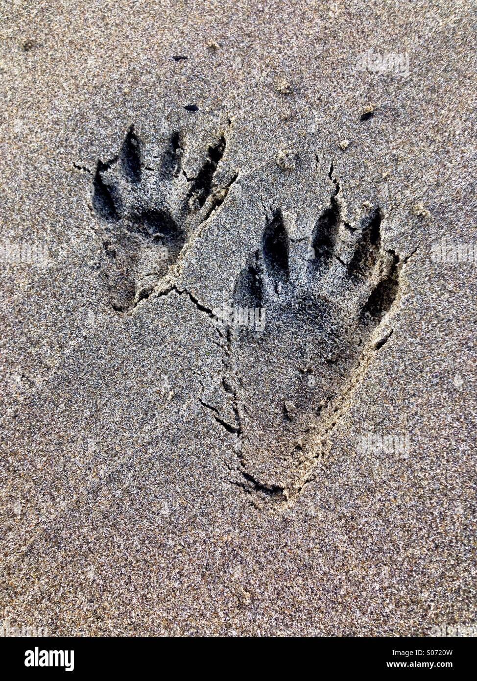 Les pistes du raton laveur dans le sable Photo Stock