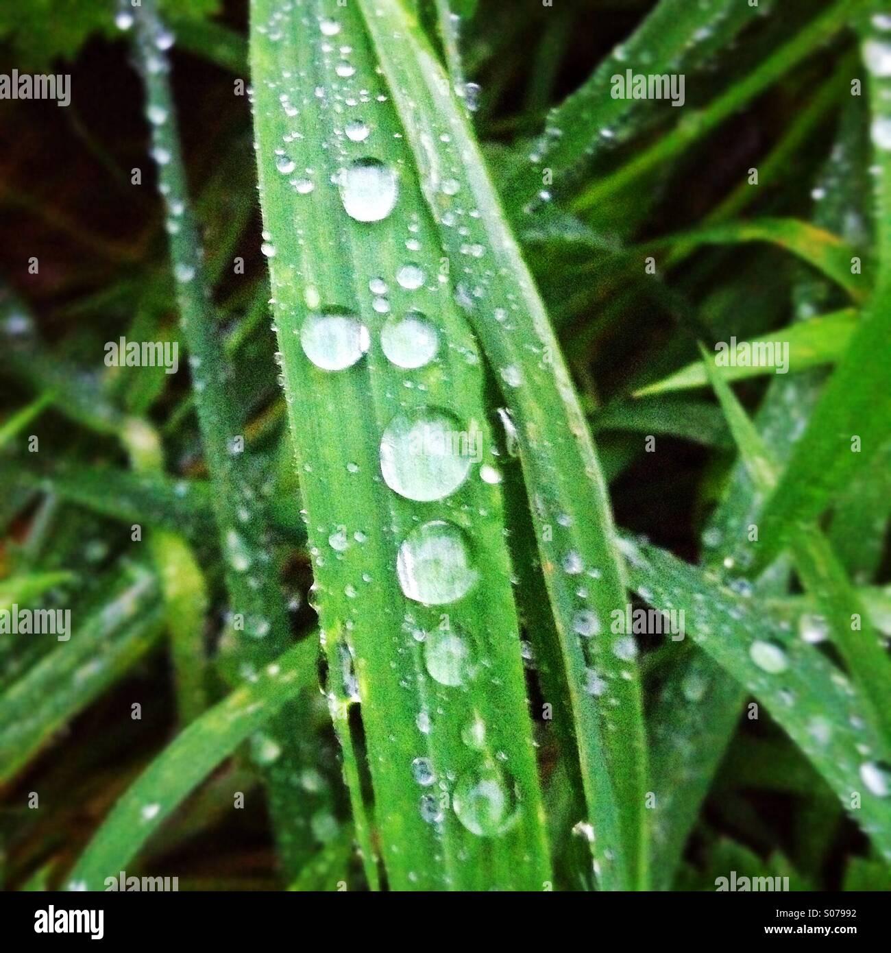 Les gouttelettes d'eau sur un brin d'herbe Photo Stock