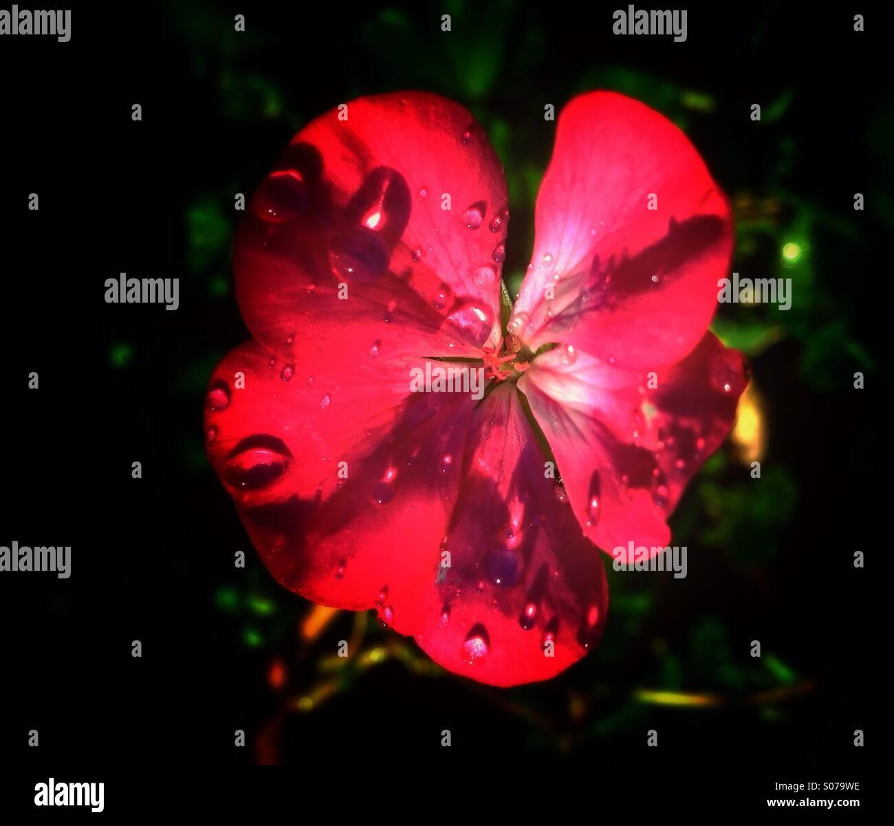 Fleur géranium Photo Stock