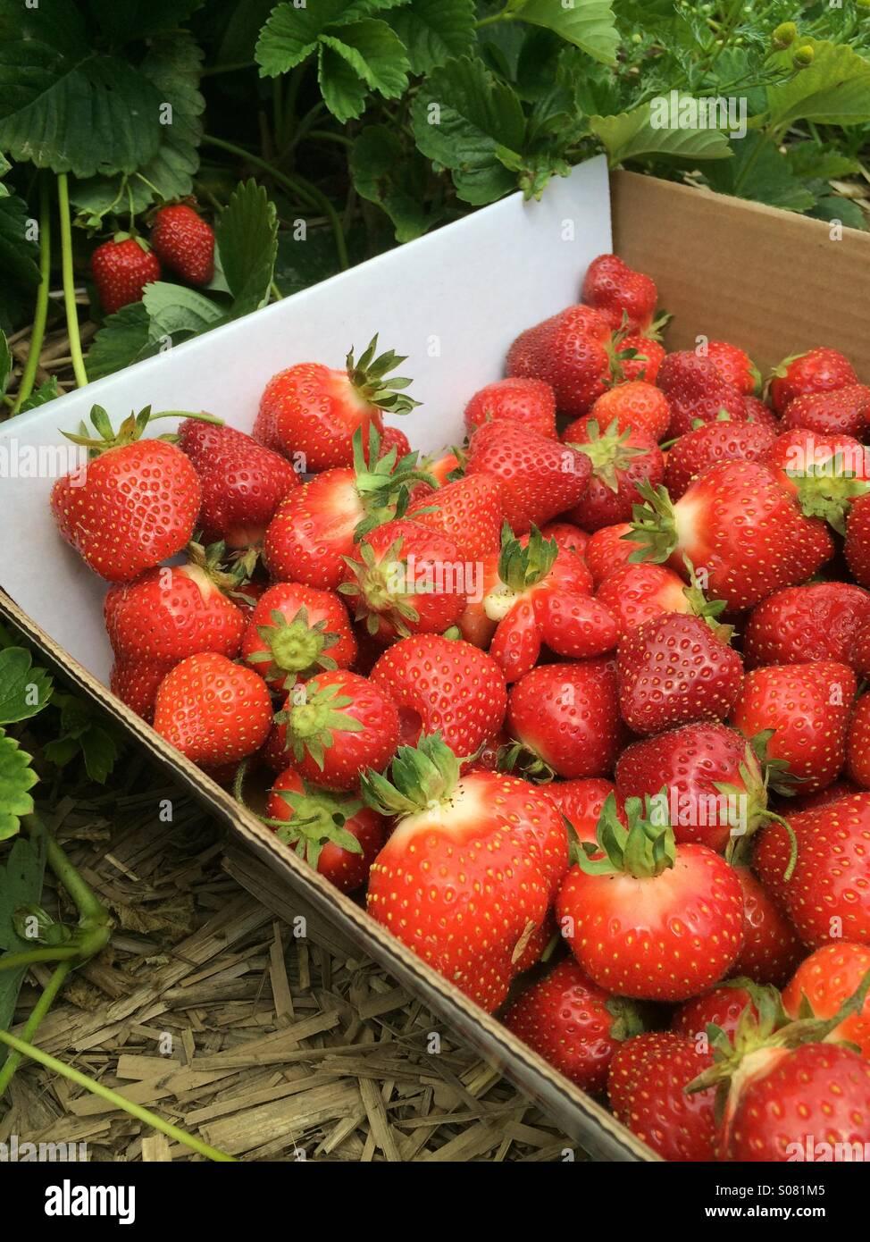 Cueillette de fraises. Photo Stock